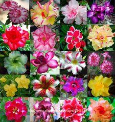 100Pcs//Pack Japan jonquil Blooming Plants Bonsai Flower Seeds Garden C1MY