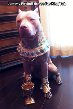 pitbull dog funny - Google Search