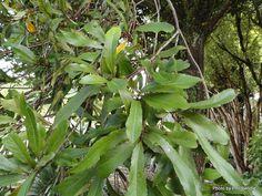 Taranaki Educational Resource: Research, Analysis and Information Network - Elaeocarpus dentatus x hookerianus 'Moana' Moana, Research, Banks, Trees, Education, Projects, Search, Log Projects, Blue Prints