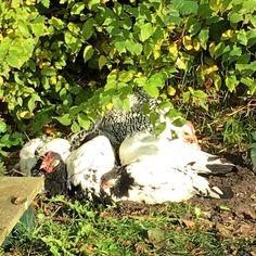 Kippen op een kluitje