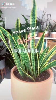 Snake Plant Care, Aloe Plant Care, Inside Plants, House Plant Care, House Plants Decor, Easy Garden, Garden Bed, Plantation, Garden Projects