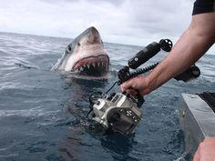Une photo exceptionnelle… et viscéralement terrifiante ! Pourtant, contrairement aux apparences, ce grand requin blanc qui surgit de l'eau à quelques mè...