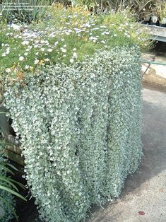 Ingredients: Dragon Wing Begonias, New Guinea Impatiens, 'Silver Falls' Dichondra, Creeping jenny. Hanging Plants Outdoor, Plants For Hanging Baskets, Moon Garden, Dream Garden, Silver Falls Dichondra, White Gardens, Container Gardening, Garden Plants, Perennials