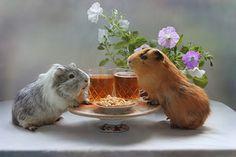 #guinea pigs#animals#nature. animal