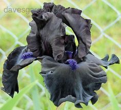 Tall Bearded Iris 'Midnight Oil'. A classic black iris, with hints of purple on the nearly-black petals and deep blue beards.