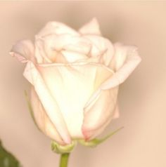 White Rose Picture    free