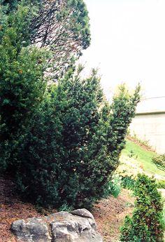 Captain Upright Yew (Taxus cuspidata 'Fastigiata') |  12' T x 6' W | Lurvey Garden Center