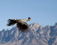 State bird of New Mexico. Roadrunner in Flight