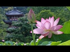 The Promised One - Prólogo - Wattpad Nelumbo Nucifera, Vietnam Voyage, Culture, You Are Beautiful, Video Photography, Bella, Flowers, Youtube, Plants
