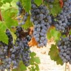 Grape Seed Extract May Beat Chemo in Late-Stage Cancer
