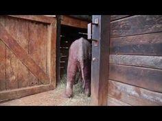 Watch the rescue of orphaned baby elephant Ajabu #elephants