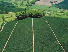 Colombia. Chinchina,Caldas. Unesco site. Coffee plantations.