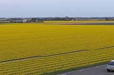Auf den Zwiebelblumenfeldern rund um Fluwel's Tulpenland blühen Millionen von Narzissen - Narcissus 'Tete a Tete' - Foto: www.fluwel.de