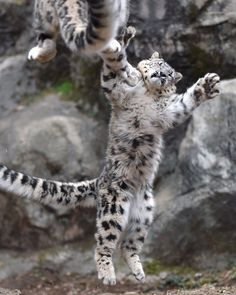 Snow Leopard cub grimaces as it attempts to block a sudden play attack. Cute Funny Animals, Cute Baby Animals, Animals And Pets, Cute Cats, Crazy Cats, Big Cats, Cats And Kittens, Baby Snow Leopard, Leopard Cub