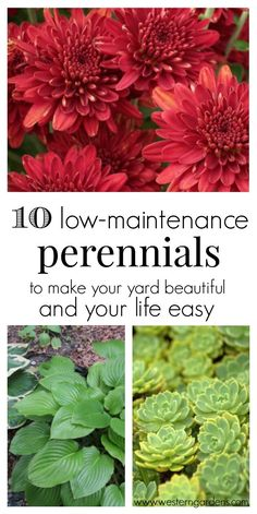 Backyard Landscaping Discover 10 Low-Maintenance Perennials - Western Garden Centers Love having a beautiful yard but dont have a lot of time? You need these 10 low-maintanence perennials! They will make your yard beautiful and your life easier! Flowers Perennials, Planting Flowers, Flower Gardening, Flowers Garden, Perrenial Flowers, Hardy Perennials, Periannual Flowers, Flowers To Plant, Zone 4 Perennials
