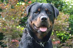 Raza Rottweiler, Rottweiler Training, Rottweiler Puppies, Beagle, Most Popular Dog Breeds, Best Dog Breeds, Best Dogs, Weimaraner, Mountain Lion