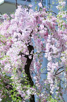 Cherry tree in full bloom, Osaka, Japan♡ Trees And Shrubs, Flowering Trees, Trees To Plant, Weeping Cherry Tree, Weeping Willow, Blossom Trees, Cherry Blossoms, Lavender Blossoms, Lavander