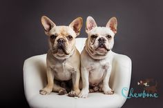 french bulldogs, brothers, puppy, puppies, charcoal gray backdrop, modern pet portrait, dog photography