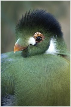 ⓕurry & ⓕeathery ⓕriends - photos of birds, pets & wild animals - White Cheeked Turaco
