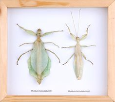 THE WALKING-LEAF INSECT PAIR (PHYLLIUM BIOCULATUM) DOUBLE GLASS FRAME £69.89 On Sale Image of The Walking-Leaf Insect PAIR (Phyllium bioculatum) Double Glass Frame The walking-leaf insect, Phyllium bioculatum, is a leaf insect (Phylliidae) native to west Malaysia.
