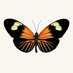 Fine art butterfly photography print of a Longwing butterfly, Heliconius xanthocles, by Allison Trentelman.