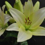 Archachon Asian Lilies, Lily, Plants, Orchids, Flora, Plant, Lilies