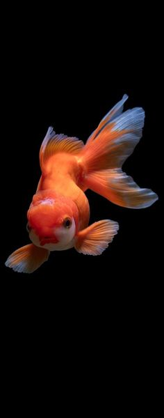 Photo of a goldfish Photo of a goldfish.You can find Colorful fish and more on our website.Photo of a goldfish Photo of a goldfish. Pretty Fish, Beautiful Fish, Animals Beautiful, Cute Animals, Cute Fish, Colorful Fish, Tropical Fish, Aquarium Design, Carpe Koi