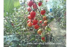 Chery Tomato