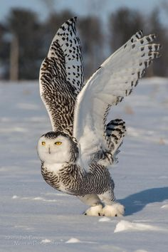 A snowy owl launching from the ground into flight