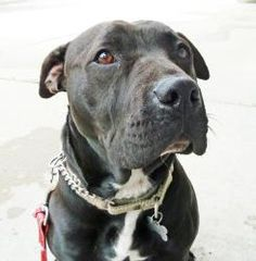 Zena is an adoptable Boxer Dog in Detroit, MI. Zena was found going back and forth between some abandoned houses last August. It was apparent that within the past couple months shed had puppies but th...
