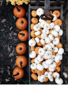 autumn | fall season | harvest | mini pumpkins | white pumpkins | @theprettycities