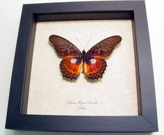 Real Framed Butterfly Cethosia Bold Purple by REALBUTTERFLYGIFTS