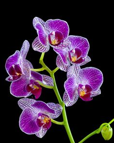 Orchids : Fort Worth Botanical Gardens, Texas