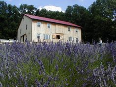 Take time to stop and smell the lavender at Peace Valley Lavender Farm and get to a Zen state of mind.
