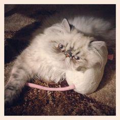 Persian Cat - Glamour shot