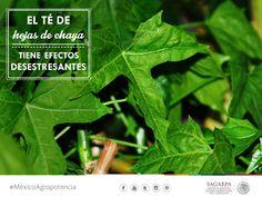 El té de hojas de chaya tiene efectos desestresante. SAGARPA SAGARPAMX #MéxicoAgroPotencia