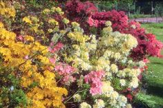 Whens, wheres, and hows of planting azaleas in spring or fall. Azaleas add a burst of color while gardenias add intoxicating fragrance to your landscape.