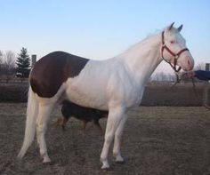 amusing color pattern - we could call him a reverse snowcap appaloosa!  only kidding!