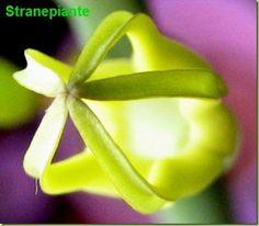 Ceropegia Dichotoma – Foto Fiori succulent plant flower