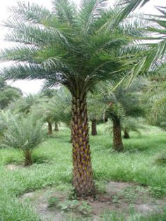 India Wild Date Palm - Hardy Palm Trees Florida