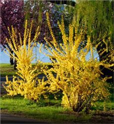 Forsythia - Forsythia x intermedia - maybe for front west side of house or back east side along house