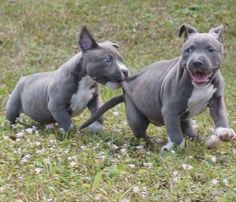 American Pitbull – All You Want to Know About This Breed – Pets and Animals Amstaff Terrier, Pitbull Terrier, Cute Puppies, Cute Dogs, Dogs And Puppies, Doggies, Beautiful Dogs, Animals Beautiful, Pit Bulls