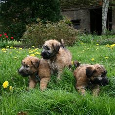 Wheaten Terrier Puppies | Flickr - Photo Sharing!