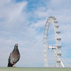 """Pigeon London Eye - """"one small step for a pigeon"""" by Istvan 