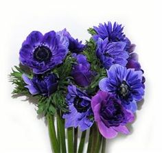 Anenomie Double Purple - This could be an option for the Blue we're looking for