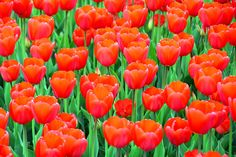 Red tulip bulbs by Thiyagarajan Swaminathan on 500px