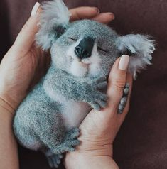 """Sweet baby koala dreams By via 🐨 What would YOU name him? Sweet baby koala dreams 🌙 ✨ By """"pinner"""": {""""username"""": """"pictureforyouwebsite"""", """"first_name"""": """"Picture For You"""", """"domain_url"""":. Baby Animals Super Cute, Cute Little Baby, Cute Little Animals, Cute Funny Animals, Cute Babies, Cutest Animals, Cutest Dogs, Funny Koala, Baby Animals Pictures"""