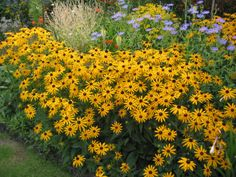 "BLACKEYED SUSAN, 'GOLDSTURM' (Rudbeckia fulgida) Native Perennial;  Ht: 24""-36"" Color: Gold Light: Sun to Part Shade; Spread: 12""-24"" Bloom Period: Summer Soil: Well Drained; A favorite selected, compact strain of a native Texas perennial. Blooms mid to late summer  with masses of golden yellow black-eyed daises. Sun loving/drought resistant. Hardy."