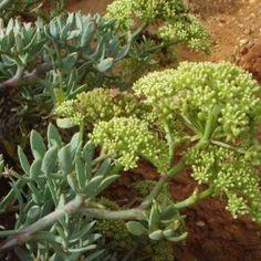 Κρίταμο crithmum maritimum Plantation, Celery, Vegetables, Plants, Cellulite, Edible Plants, Dry Garden, Yellow Flowers, Perennial Plant