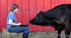 cow sniffs computer, #cattle #barn #agnerd